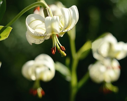 Chandelier Lily